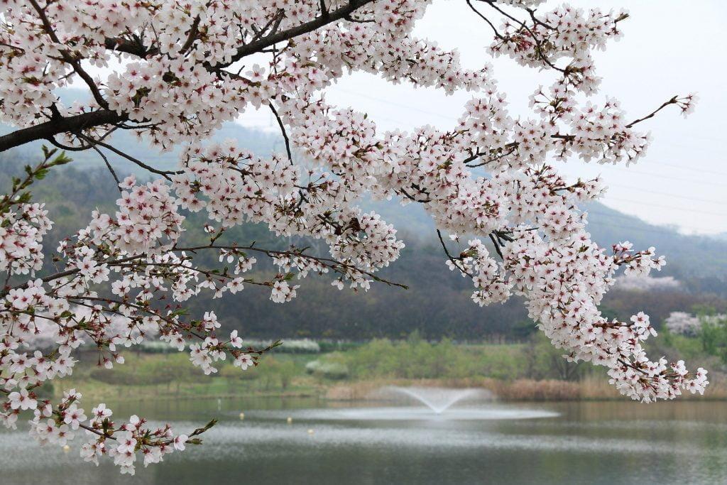 fleuraison du cerisier