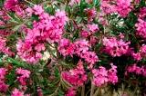 Le laurier rose : taille, semis et bouture