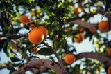 Comment réussir à coup sur une greffe d'arbre fruitier ?