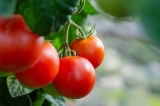 Comment tailler les tomates?