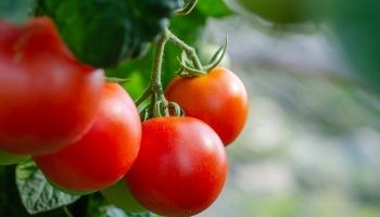 Comment tailler les tomates?